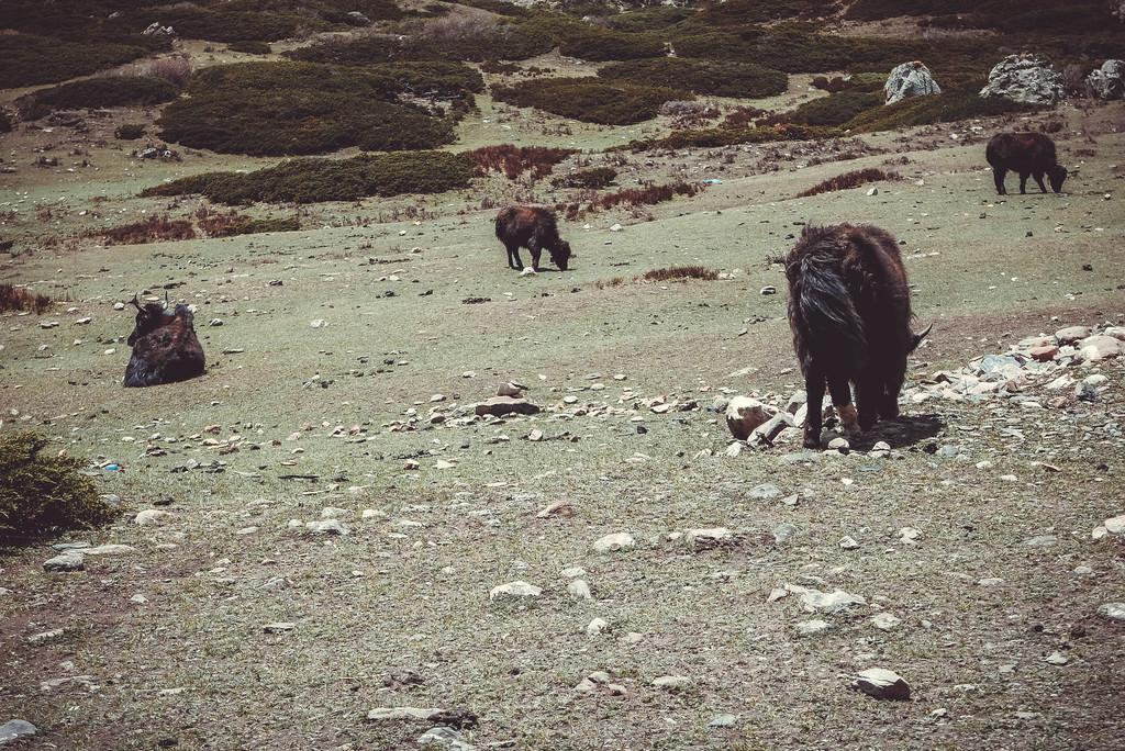 tiibeti jakk